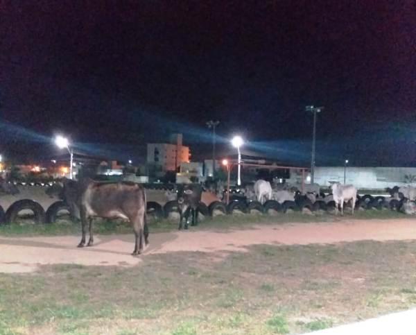 Boiada chama a atenção em frente ao Fórum de Linhares