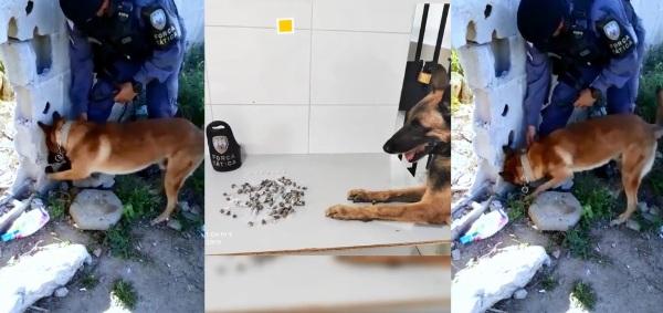 Cão Nill fareja e deixa traficantes do Aviso de cabelos em pé
