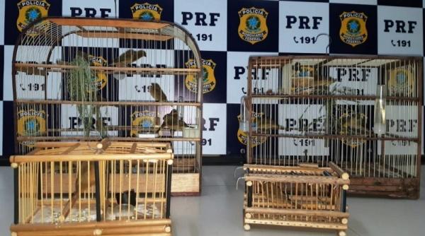 PRF apreende 19 pássaros silvestres em veículo na BR 101